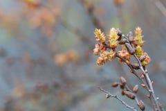 Sweetgale de florescência, vendaval do Myrica imagem de stock