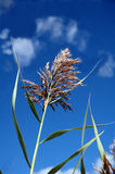 Sweetgrass Royalty Free Stock Photos