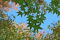 Sweetgum绿色叶子有五颜六色的背景 免版税库存图片