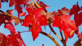 Sweetgum Royalty Free Stock Image