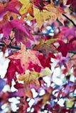 Sweetgum américain Photographie stock