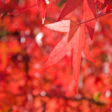 Sweetgum américain Photo stock