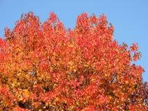 Sweetgum américain, dans l'automne avec son rouge, orange et feuilles de jaune photo stock