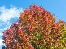 Sweetgum américain, dans l'automne avec son rouge, orange et feuilles de jaune photos stock