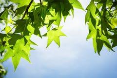 Sweetgum-Blätter auf Niederlassung gegen blauen Himmel Lizenzfreie Stockbilder