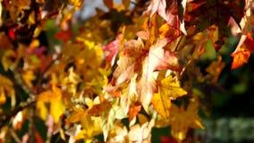 Sweetgum in fall stock video footage