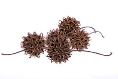 Sweetgum Fruit Royalty Free Stock Images