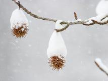 Sweetgum im Winter Lizenzfreie Stockbilder