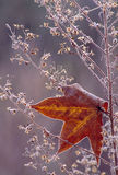 Sweetgum leaf with frost. Sweetgum leaf rimmed in frost caught in a frosty weed Royalty Free Stock Photos