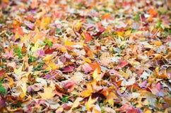 Sweetgum leaves Stock Photo