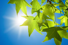 Sweetgum Leaves on Branch against Blue Sky Stock Images