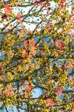 Sweetgum leaves Royalty Free Stock Images