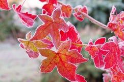 Sweetgum rimfrost Arkivfoto