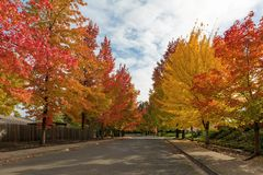 Sweetgum Trees Foliage Lined Street during Fall Season royalty free stock photos