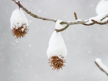 Sweetgum in winter. Seeds of sweetgum tree covered in snow Royalty Free Stock Images