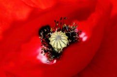 Sweetheart Royalty Free Stock Photo