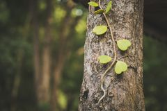 Sweetheart Hoya plant on tree. Heart of leaf. vintage tone Stock Photos