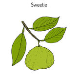 Sweetie citrus oroblanco fruit. Hand drawn botanical vector illustration Royalty Free Stock Photo