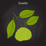 Sweetie citrus oroblanco fruit. Hand drawn botanical vector illustration Royalty Free Stock Photos