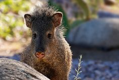 Sweetie Pie the Javelina stock images