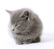 Sweetie2. Soft grey kitten on white Stock Images