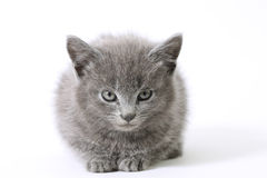 Sweetie. Young grey kitten on white Stock Image