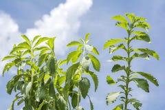Sweetleaf植物 免版税库存照片