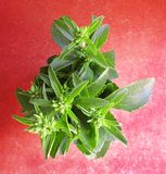 Sweetleaf,甜叶菊rebaudiana植物的花束 免版税库存图片