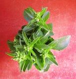 Sweetleaf, ramo de la planta del rebaudiana del Stevia Imágenes de archivo libres de regalías