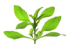 Sweetleaf (Stevia rebaudiana) Royalty Free Stock Images