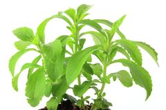 Sweetleaf (Stevia rebaudiana) Royalty Free Stock Photos