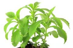 Sweetleaf (Stevia rebaudiana) Royalty Free Stock Photos