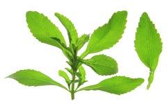 Sweetleaf (Stevia rebaudiana) Stock Image