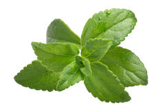 Sweetleaf, sugar leaf or Stevia rebaudiana, paths Stock Photos