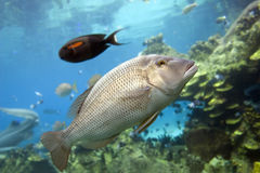 Sweetlip. A Barred Grunter (Pomadasys kaakan Cuvier Royalty Free Stock Photography