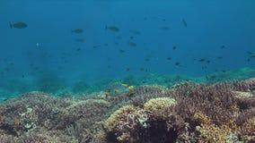 Sweetlip congregado diagonal en un arrecife de coral 4K almacen de video