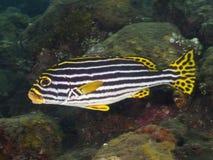 Sweetlip di corallo di Orientale del pesce Immagini Stock