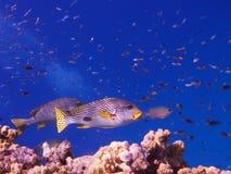 Sweetlip-Fische stockfotografie