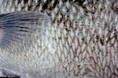 Sweetlip fish scales & fin Royalty Free Stock Image