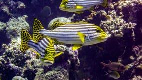 Sweetlip oriental dans les eaux tropicales de l'Océan Indien, Maldives photos stock