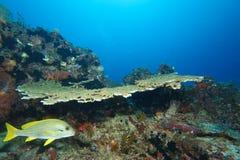 Sweetlips和珊瑚礁 免版税库存照片