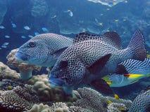 sweetlips的图象在大堡礁的 免版税库存图片