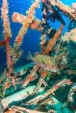 Sweetlips σε υποβρύχια συντρίμμια Στοκ φωτογραφία με δικαίωμα ελεύθερης χρήσης