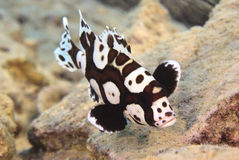 Sweetlips Royalty Free Stock Images