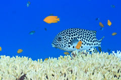 Sweetlips Royalty Free Stock Photo