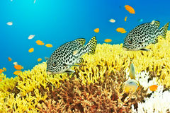 Sweetlips Royalty Free Stock Photos