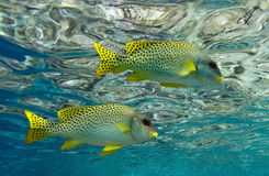 Sweetlips. Couple of sweetlips in clean water Royalty Free Stock Image