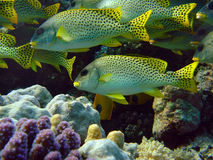 Sweetlips Royalty Free Stock Image