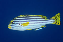 Sweetlips with Cleaner Fish Royalty Free Stock Photo