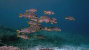Sweetlips congregado diagonal en un arrecife de coral 4k metrajes